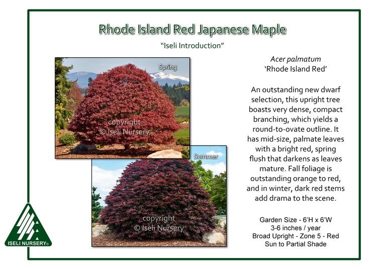 Acer palmatum 'Rhode Island Red'