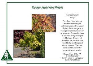 Acer palmatum 'Ryugu'