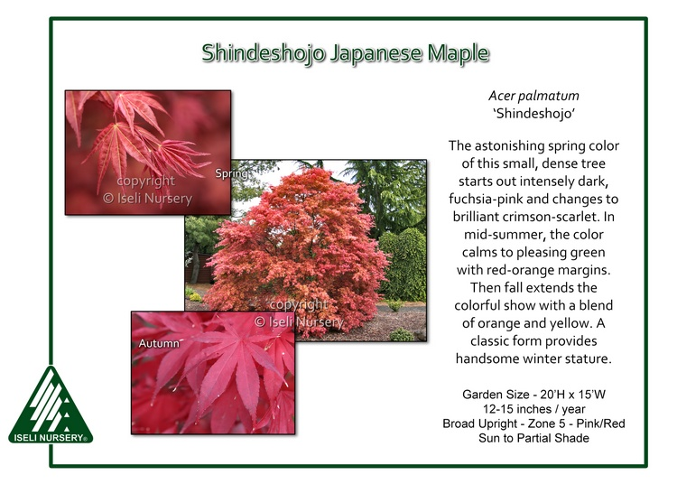 Acer palmatum 'Shindeshjo'