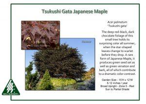Acer palmatum 'Tsukushi Gata'