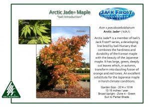 Acer pseudosieboldianum Arctic Jade® ('IsIAJ')