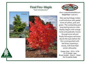 Acer x pseudosieboldianum Final Fire® ('IsFinFi')