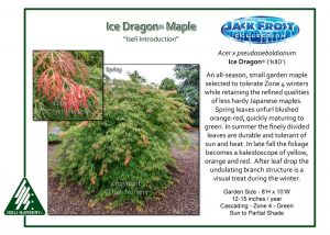 Acer pseudosieboldianum 'Ice Dragon'®
