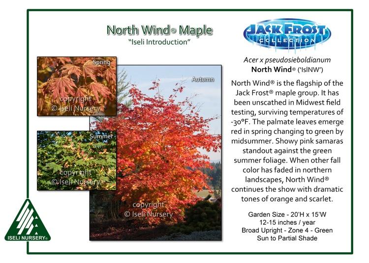 Acer pseudosieboldianum North Wind®('IslNW')