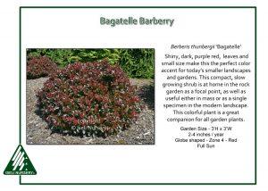 Berberis thunbergii 'Bagatelle'