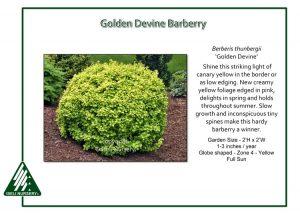 Berberis thunbergii 'Golden Devine'