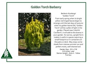 Berberis thunbergii 'Golden Torch'