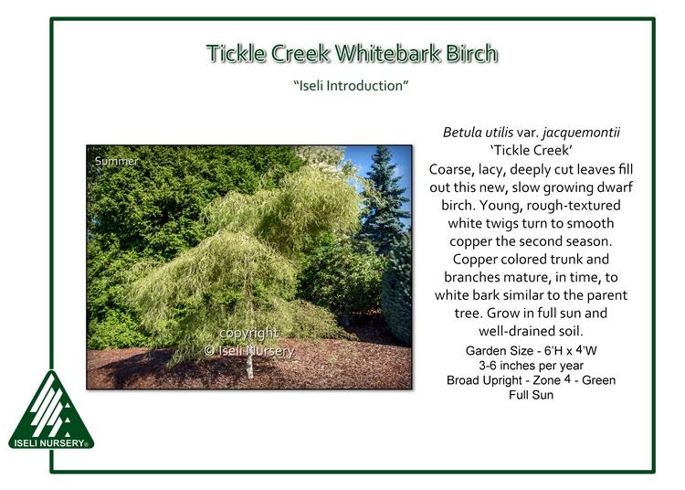 Betula utilis var. jacquemontii 'Tickle Creek'