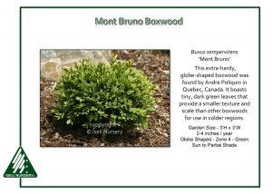 Buxus sempervirens 'Mont Bruno'