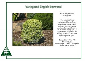 Buxus sempervirens 'Variegata'