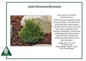 Buxus sinica var. insularis 'Justin Browers'