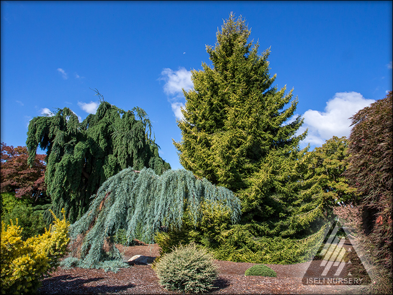 Colorful Conifers in the Jean Iseli Memorial Garden