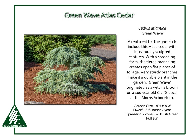 Cedrus atlantica 'Green Wave'
