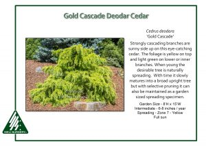 Cedrus deodara 'Gold Cascade'