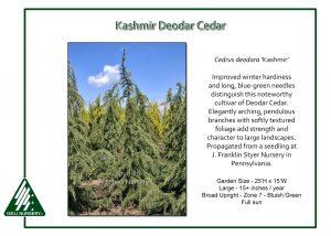 Cedrus deodara 'Kashmir'
