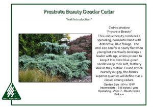 Cedrus deodara 'Prostrate Beauty'