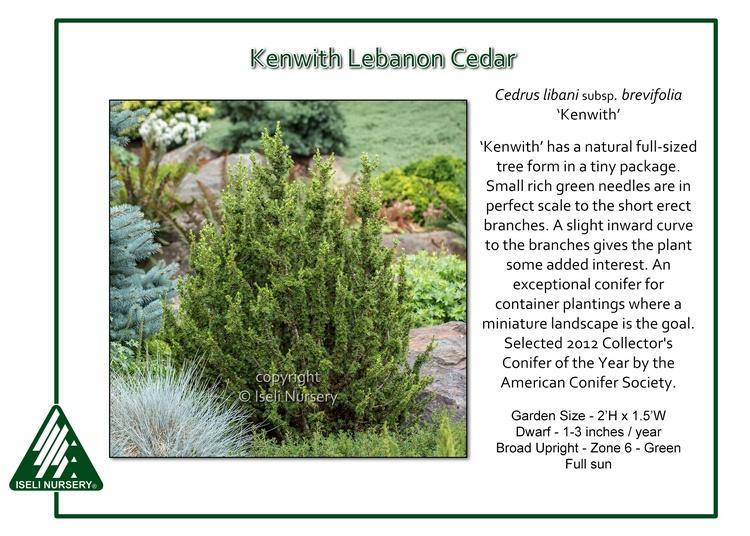 Cedrus libani subsp. brevifolia 'Kenwith'