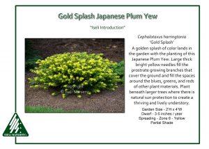 Cephalotaxus harringtonia 'Gold Splash'