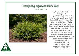 Cephalotaxus harringtonia 'Hedgehog'