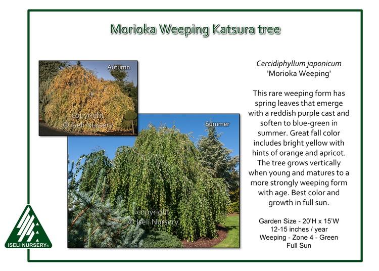 Cercidiphyllum japaonicum 'Morioka Weeping'