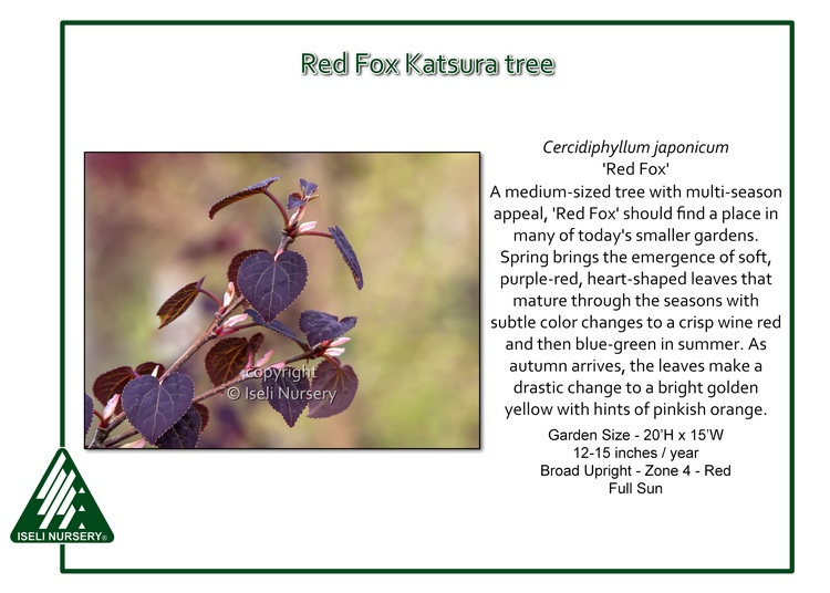 Cercidiphyllum japaonicum 'Red Fox'