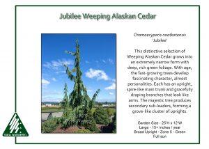 Chamaecyparis nootkatensis 'Jubilee'