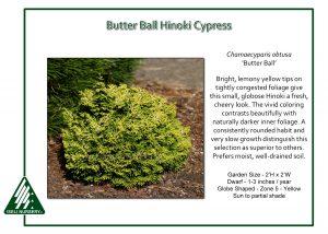 Chamaecyparis obtusa 'Butter Ball'