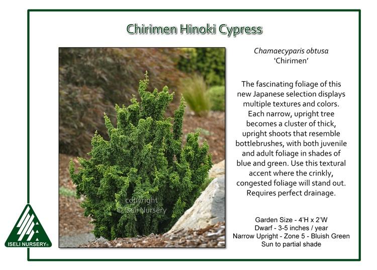 Chamaecyparis obtusa 'Chirimen'