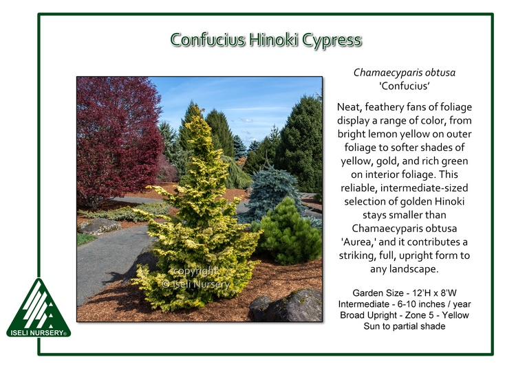 Chamaecyparis obtusa 'Confucius'