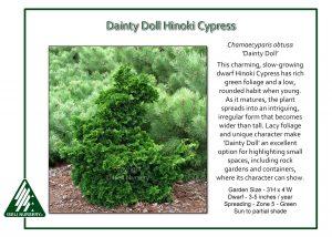 Chamaecyparis obtusa 'Dainty Doll'