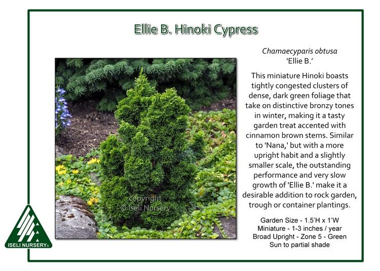 Chamaecyparis obtusa 'Ellie B.'