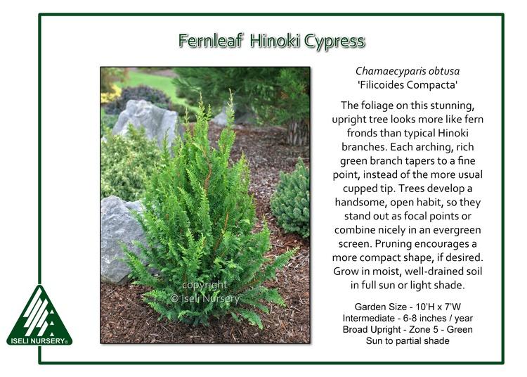 Chamaecyparis obtusa 'Filicoides Compacta'