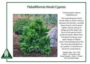 Chamaecyparis obtusa 'Flabelliformis'