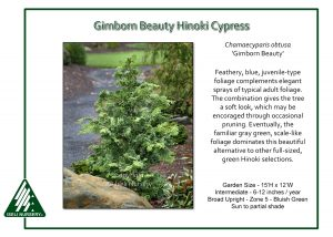 Chamaecyparis obtusa 'Gimborn Beauty'