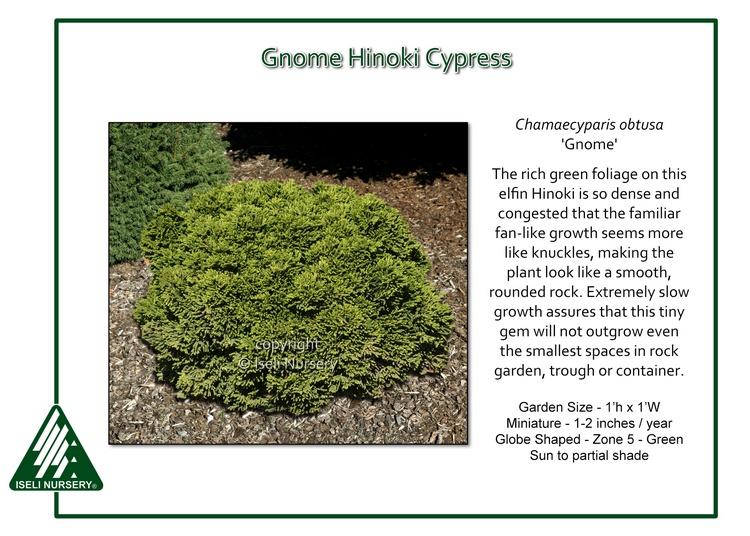 Chamaecyparis obtusa 'Gnome'