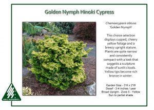 Chamaecyparis obtusa 'Golden Nymph'