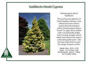 Chamaecyparis obtusa 'Goldilocks'