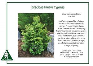 Chamaecyparis obtusa 'Graciosa'
