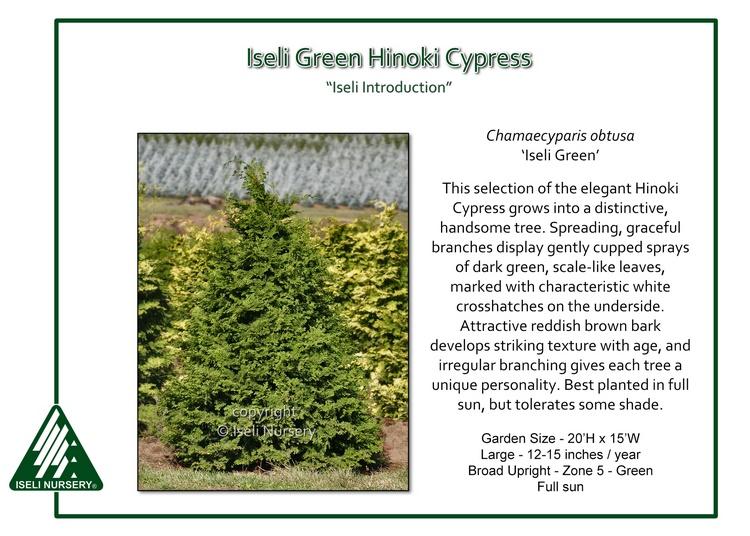 Chamaecyparis obtusa 'Iseli Green'