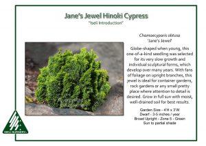 Chamaecyparis obtusa 'Jane's Jewel'