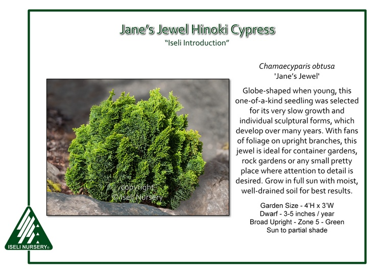 Chamaecyparis obtusa 'Jane's Jewel'