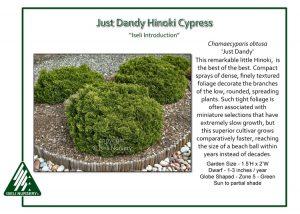 Chamaecyparis obtusa 'Just Dandy'