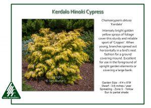 Chamaecyparis obtusa 'Kerdalo'