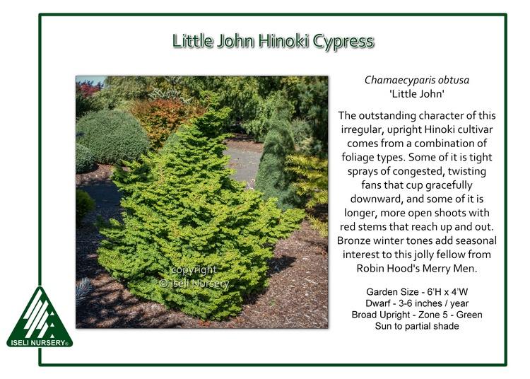 Chamaecyparis obtusa 'Little John'