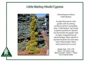 Chamaecyparis obtusa 'Little Markey'