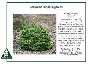 Chamaecyparis obtusa 'Maureen'