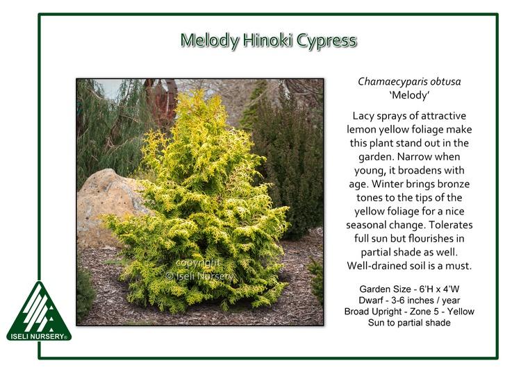 Chamaecyparis obtusa 'Melody'