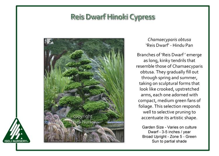 Chamaecyparis obtusa 'Reis Dwarf' - hindupan