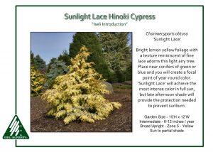 Chamaecyparis obtusa 'Sunlight Lace'