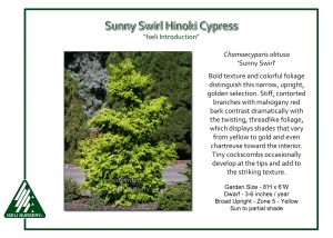 Chamaecyparis obtusa 'Sunny Swirl'